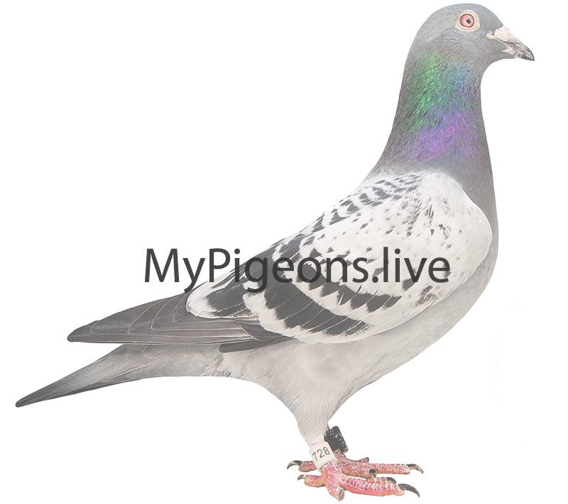 Pigeon without photograph